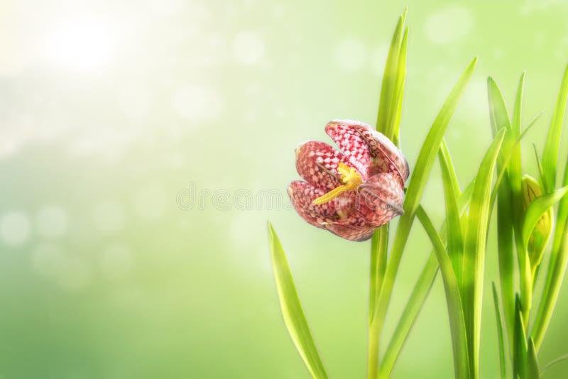 Slingra för huvudfritillaryen för ` s meleagrisen för Fritillaria eller rutig daf royaltyfri bild