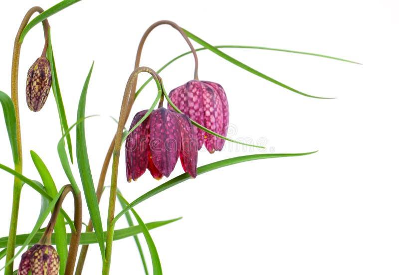 Slingra huvudfritillaryen för ` s - Fritillariameleagris royaltyfria bilder