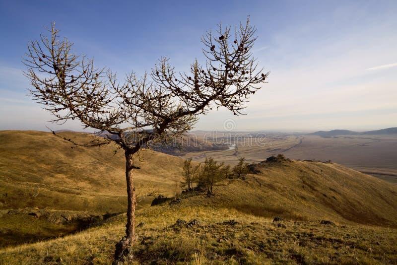 Slingshot-como a árvore desencapada fotos de stock royalty free