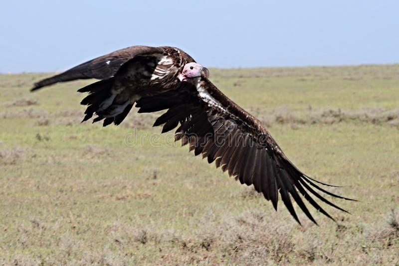Slip onder ogen gezien gier die voorbereidingen treffen te landen stock foto