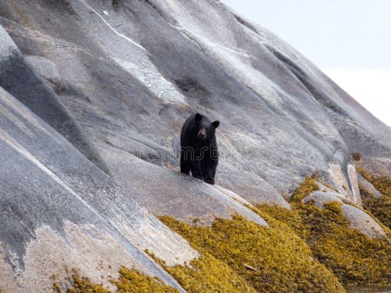 Slippery Slope. Brown bear near Juneau, Alaska walking along a steep rock face on a rainy day royalty free stock photo