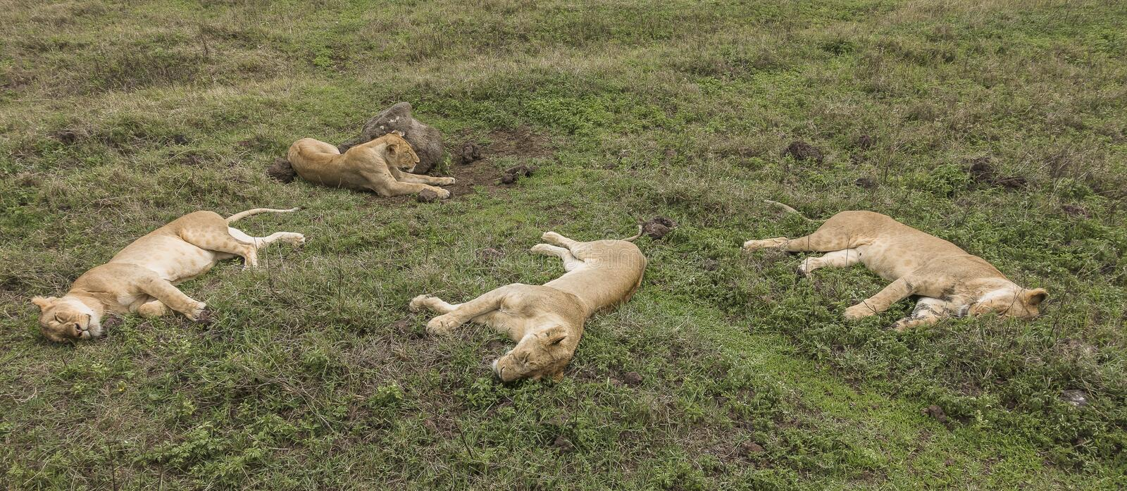 Slipping lions female royalty free stock images