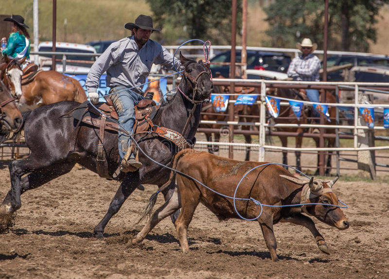 Slipping Over His Nose. A cowboy catches his calf. The rodeo in Cottonwood, California is a popular event on Mother's Day weekend in this small northern stock photography