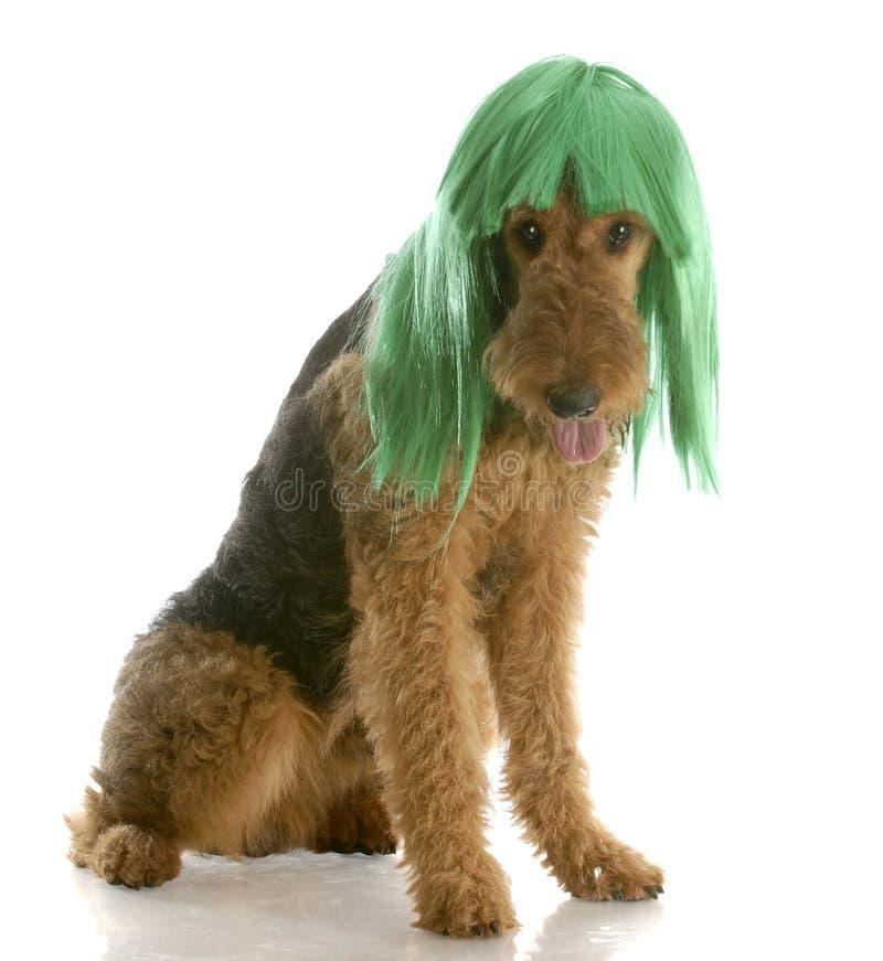slitage wig för hund royaltyfri foto