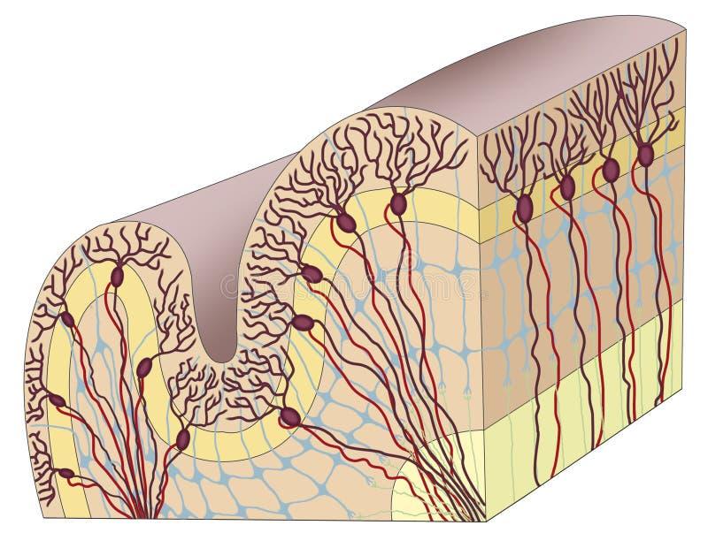Cerebral cortex för människa vektor illustrationer