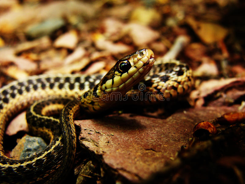 Slitherin' Snake royalty free stock image