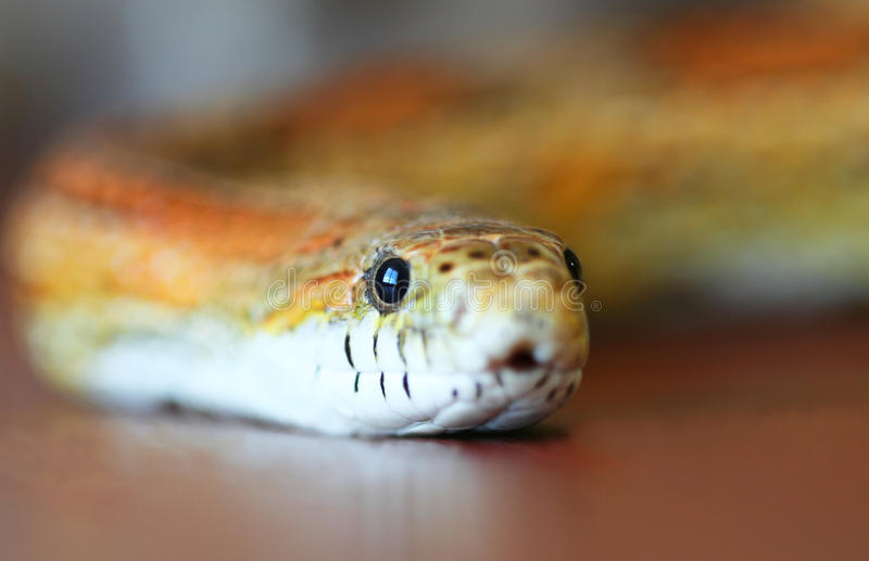A Slithering Orange And Yellow Corn Snake Stock Photo