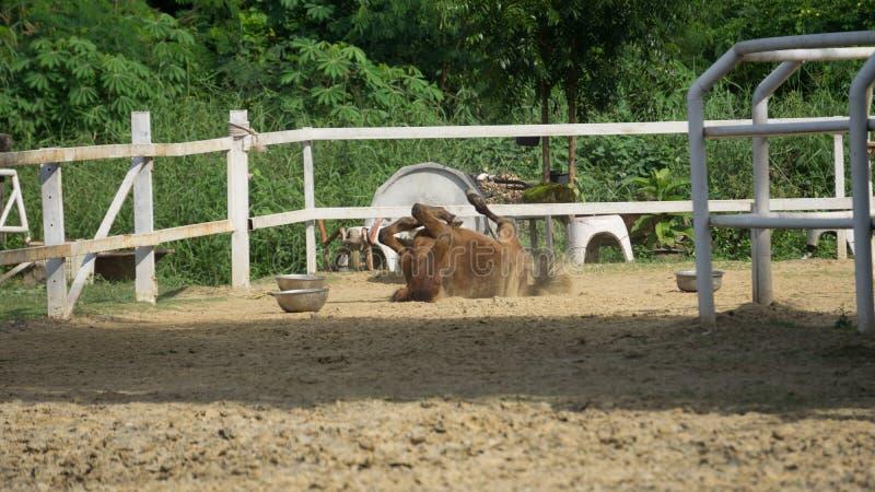 Slittamento del cavallo giù sulla sabbia fotografia stock