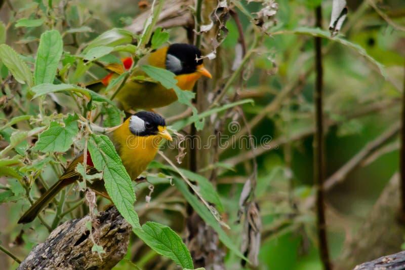 Sliver-eared mesia. Sitting on the tree ,thailand stock photos