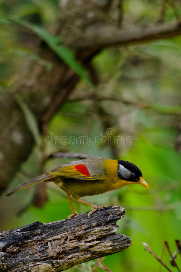Sliver-eared mesia. Sitting on the tree ,thailand royalty free stock photo