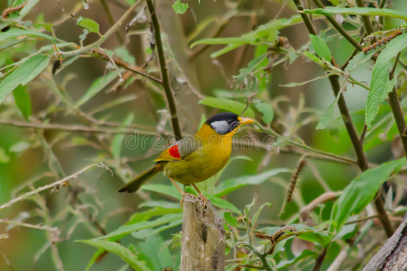 Sliver-eared mesia. Sitting on the tree ,thailand royalty free stock image