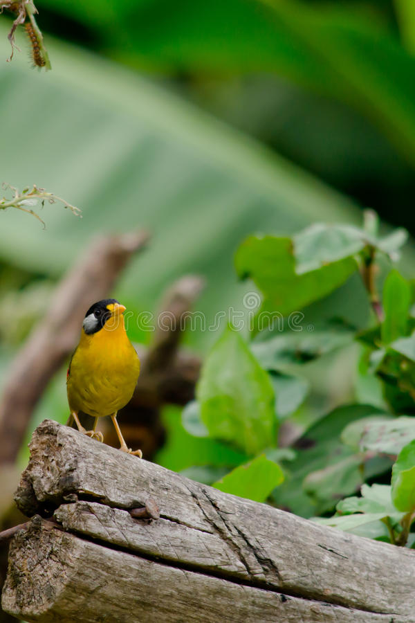 Sliver-eared mesia. Sitting on the tree ,thailand stock image