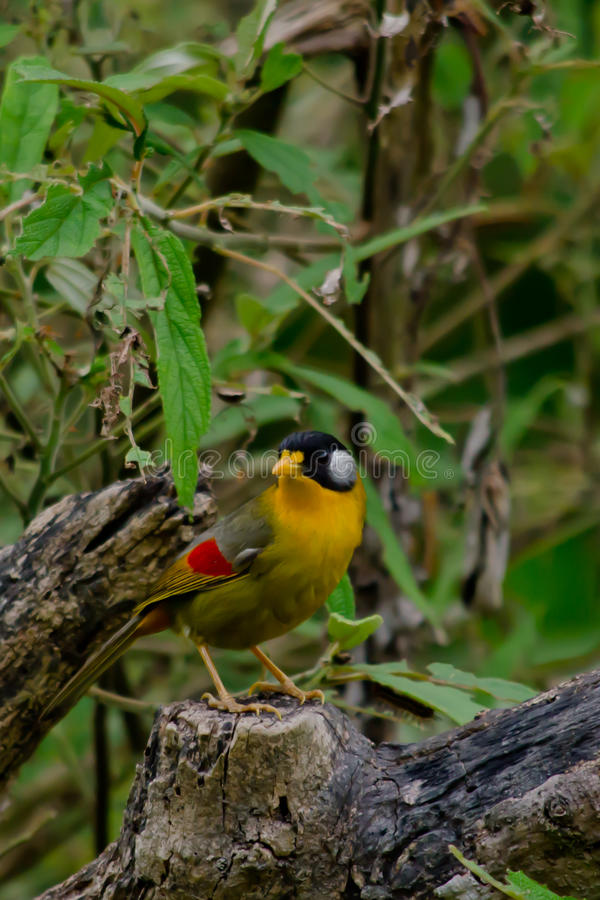 Sliver-eared mesia. Sitting on the tree ,thailand royalty free stock photography