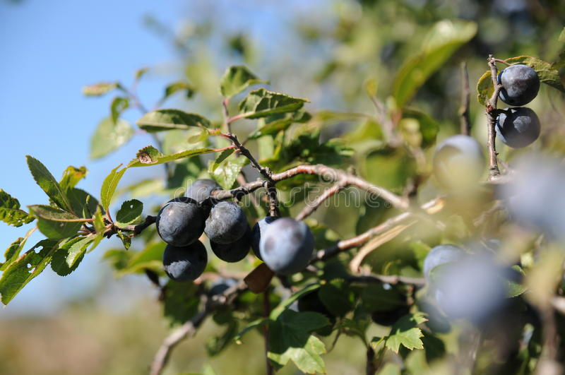 Sloe berries royalty free stock photos