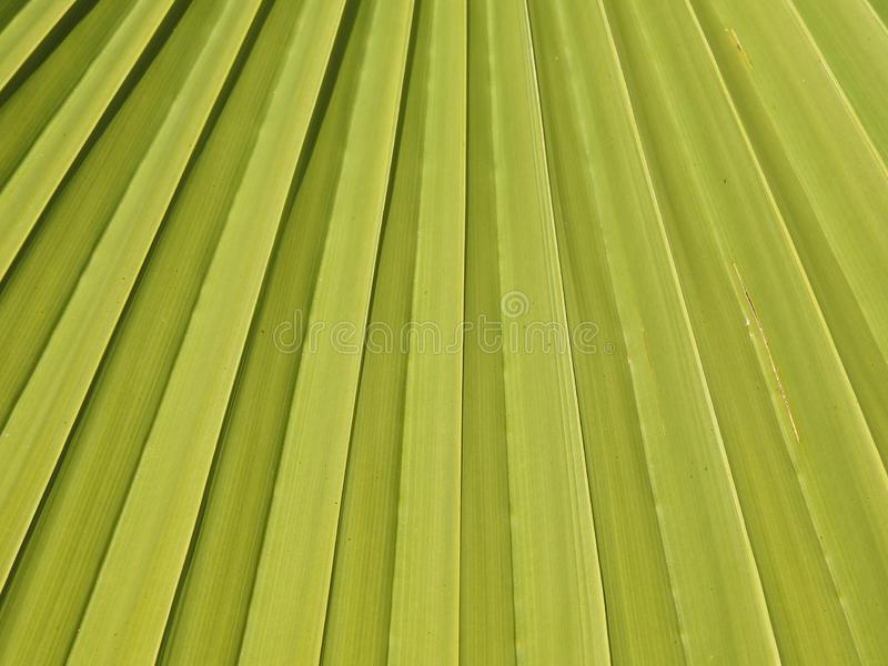 Sloid palms Blow in the winter wind. A beautiful color of green surround a palm fron in late Janurary stock image