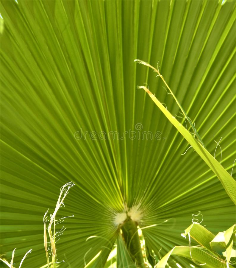 Sloid palms Blow in the winter wind. A beautiful color of green surround a palm fron in late Janurary stock photography