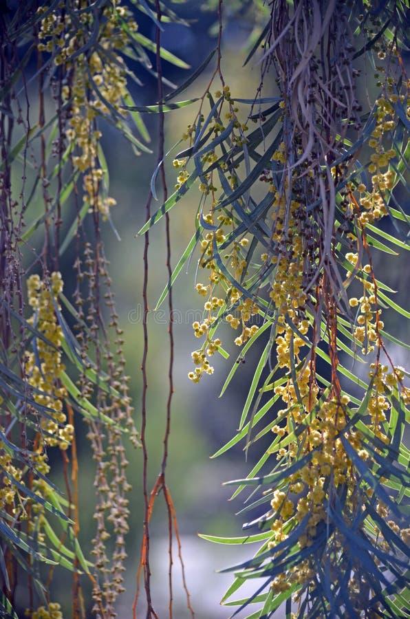 Sloka filialer och blommor av akaciasalignaen arkivfoto