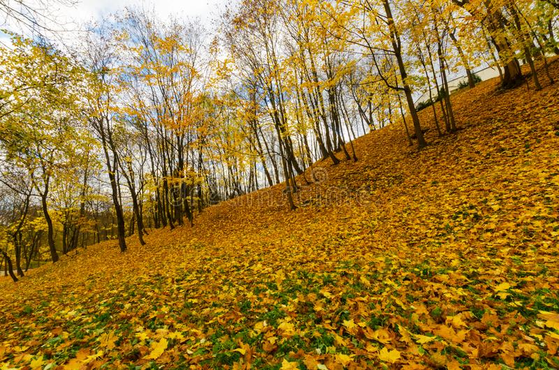 Slope of the autumn park. yellow maple leaves. Slope of the autumn park. carpet of yellow maple leaves stock photography