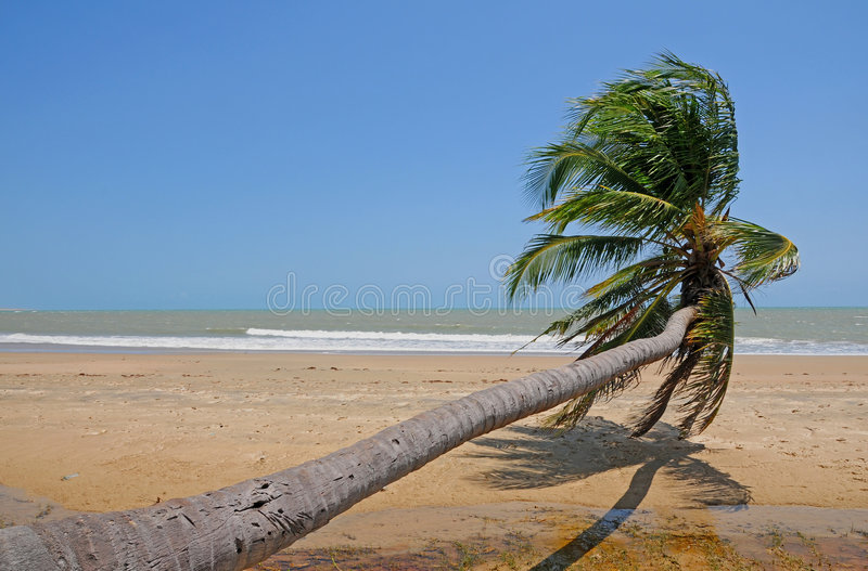 Download Sloping palm at beach stock photo. Image of tropical, palm - 7187884