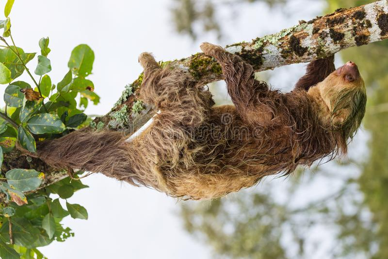 sloth royalty-vrije stock afbeeldingen