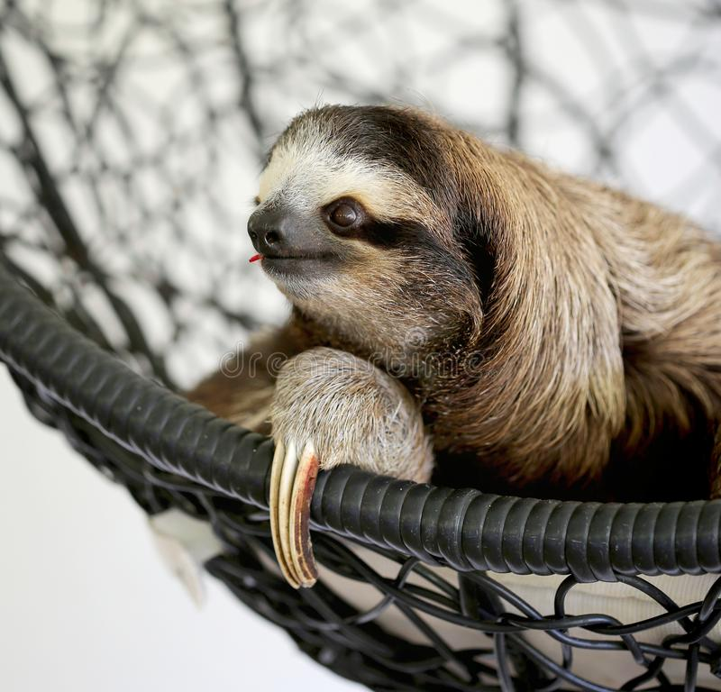 sloth royaltyfri foto