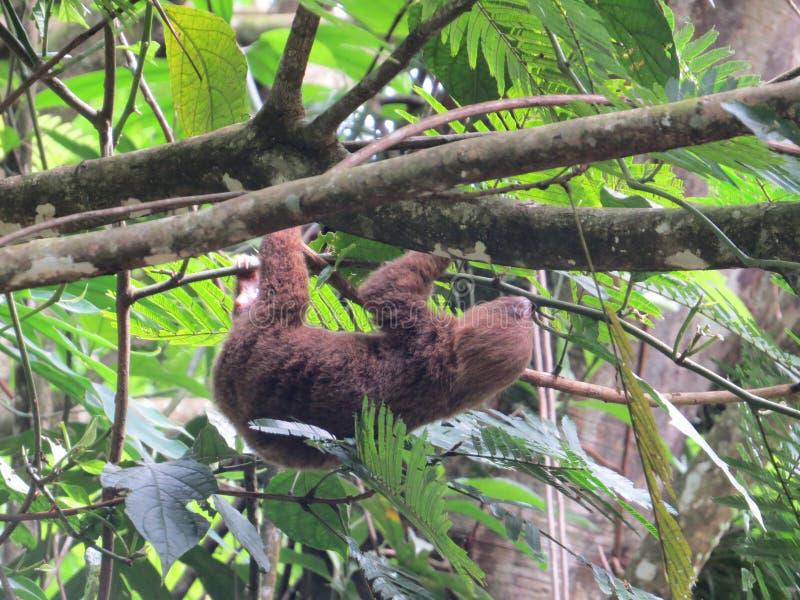 sloth royalty-vrije stock foto's