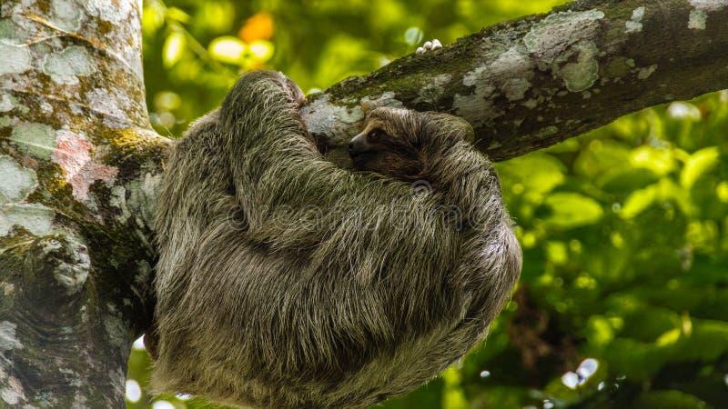 sloth stock fotografie