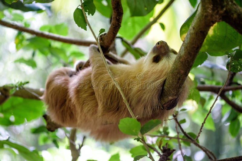 sloth stock afbeeldingen