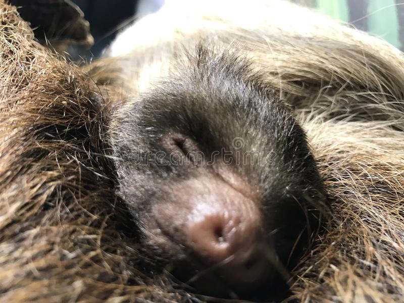 Sloth baby stock photography