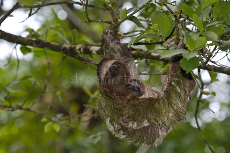 Sloth and baby sloth in Costa Rica stock images