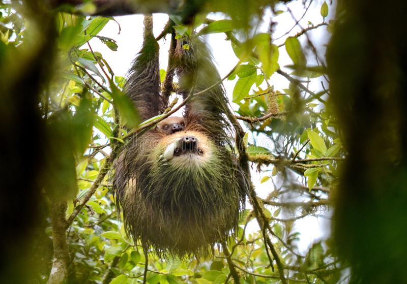 Sloth with a baby in the wild royalty free stock photo