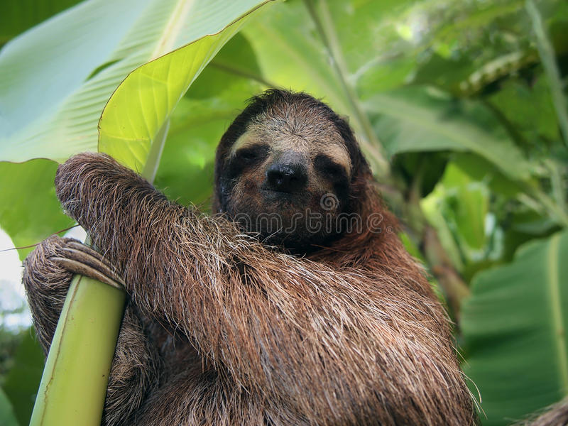 Sloth in banana tree royalty free stock images