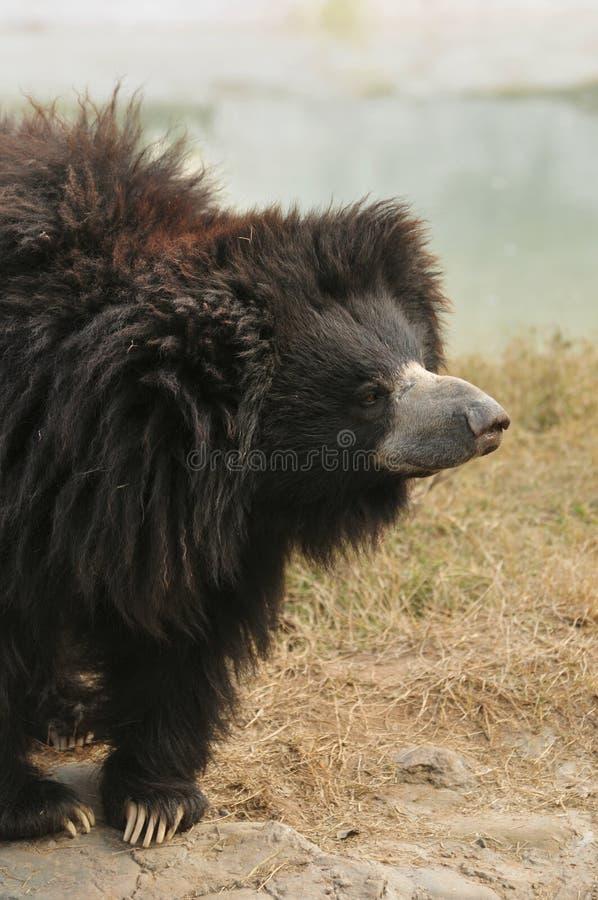 Free Sloth Bear Royalty Free Stock Photos - 12463718