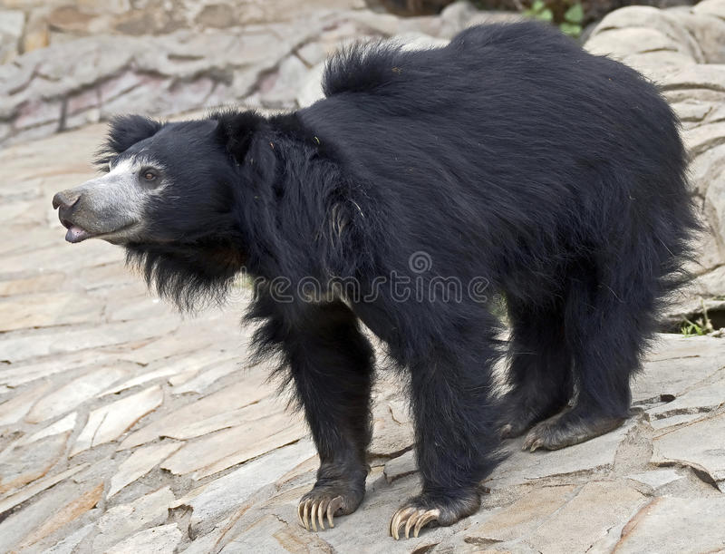 Sloth bear 7 stock images