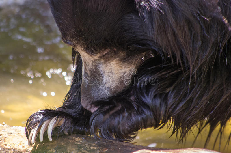 Sloth bear close-up stock photography