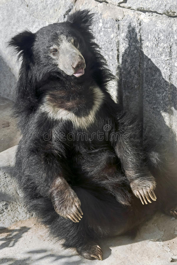 Sloth bear 9 royalty free stock images