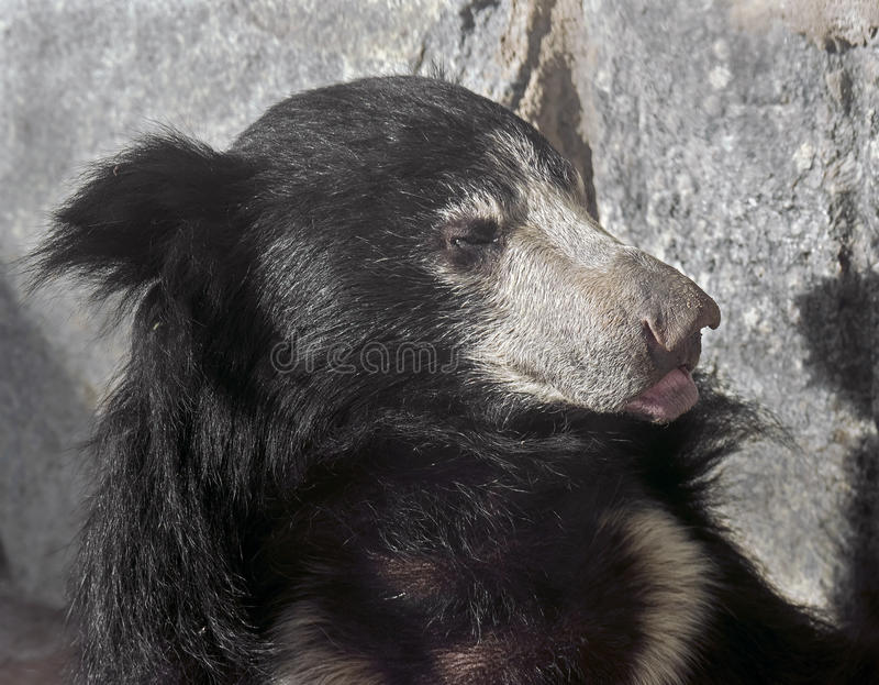 Sloth bear 10 royalty free stock images