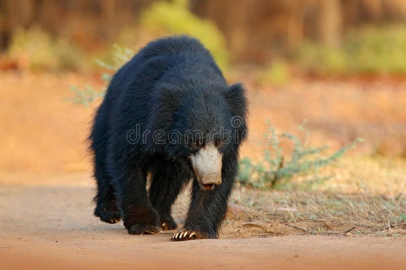 Sloth bear, Melursus ursinus, Ranthambore National Park, India. Wild Sloth bear nature habitat, wildlife photo. Dangerous black an royalty free stock image