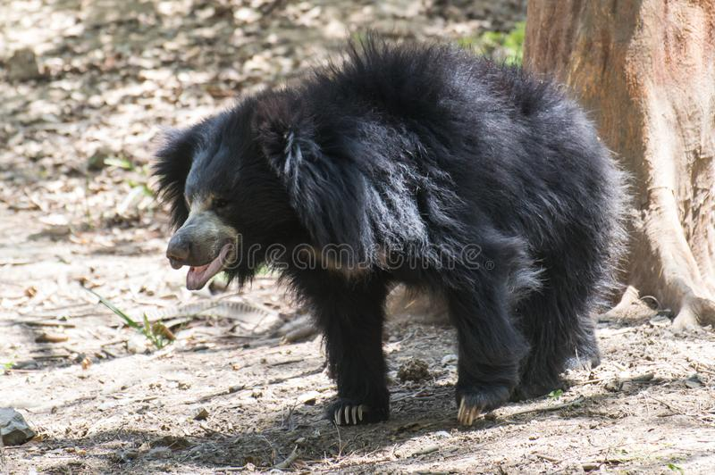 Sloth Bear walking. Sloth Bear Melursus ursinus walking near the tree. It is listed in Vulnerable category of IUCN stock images