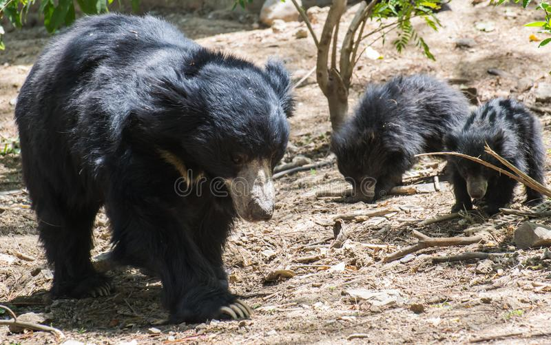 Sloth Bear and Pups. Sloth Bear Melursus ursinus and her pups probing the ground near the tree. Sloth Bears are listed in Vulnerable category of IUCN royalty free stock photo