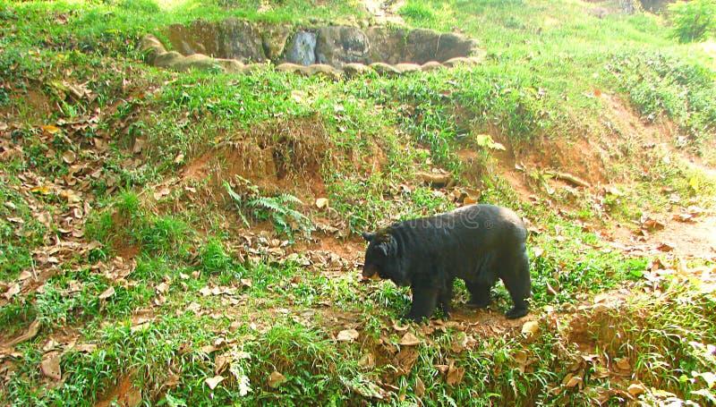 Sloth Bear wandering in Zoo, Thiruvananthapuram, Kerala, India. This is a photograph of a sloth bear, melursus ursinus, captured at zoo, Thiruvananthapuram stock photos