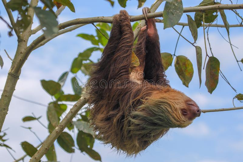 A sloth in the Cahuita National Park royalty free stock image