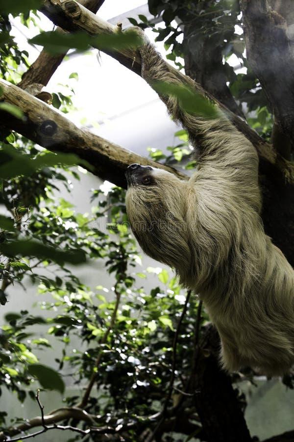 Sloth climbing a tree royalty free stock photo