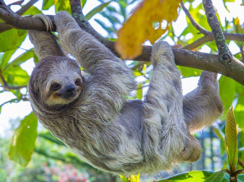 Sloth in Costa Rica. Sloth climbing a tree in costa rica rainforest