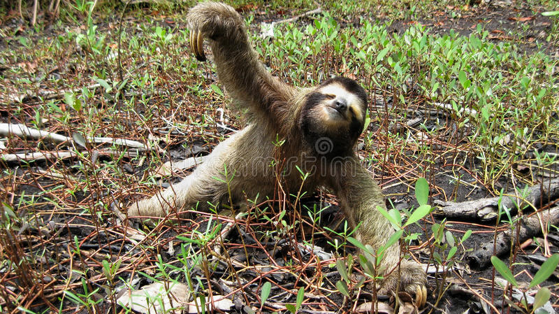 Download Sloth on the ground stock image. Image of caribbean, mammal - 26973211