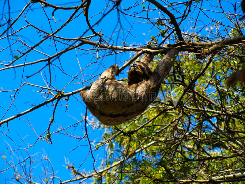 Sloth hanging from a branch stock images