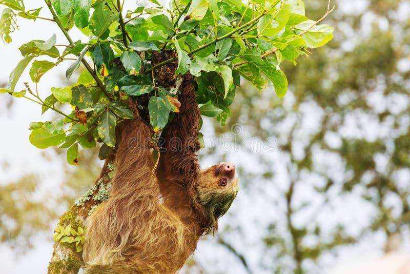 Sloth royalty free stock photo