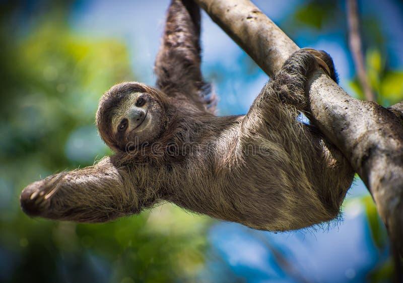 Sloth smiling at you royalty free stock photos