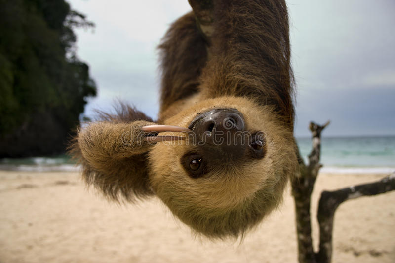 Sloth royalty free stock photography