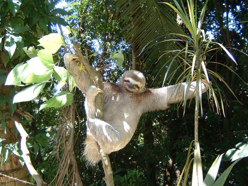 sloth trzy palce obraz royalty free